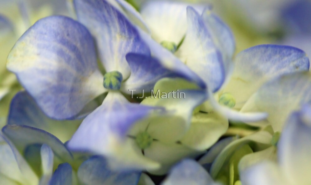 Potted Blue Hydrangea by T.J. Martin