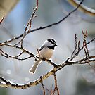 Chickadee by Jody Johnson