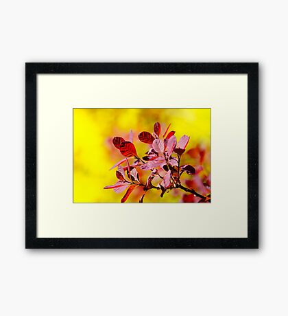 Smoke Bush Framed Print
