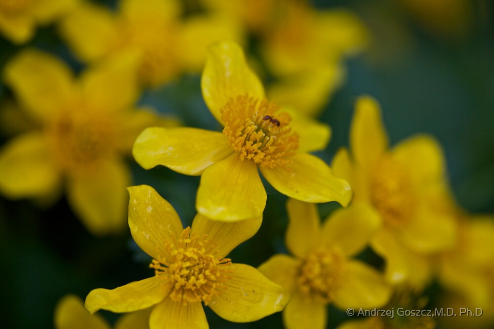 Kingcups (or marsh marigolds) grow wild alongside streams and in shallow water .Galicia.Gorce Mountains.Poland. by Brown Sugar . Views (43) thank you !!! by © Andrzej Goszcz,M.D. Ph.D