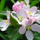 Apple blossom by Maria1606