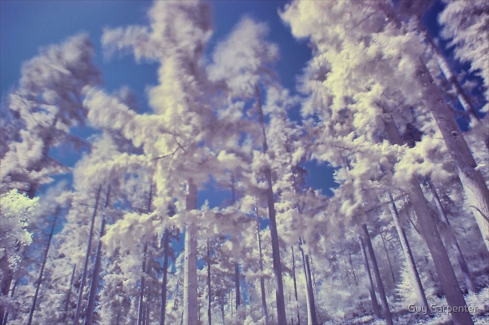Coniferous Trees in Infra Red by Guy Carpenter