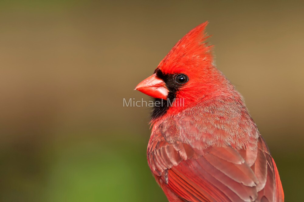 Northern Cardinal Portrait by Michael Mill