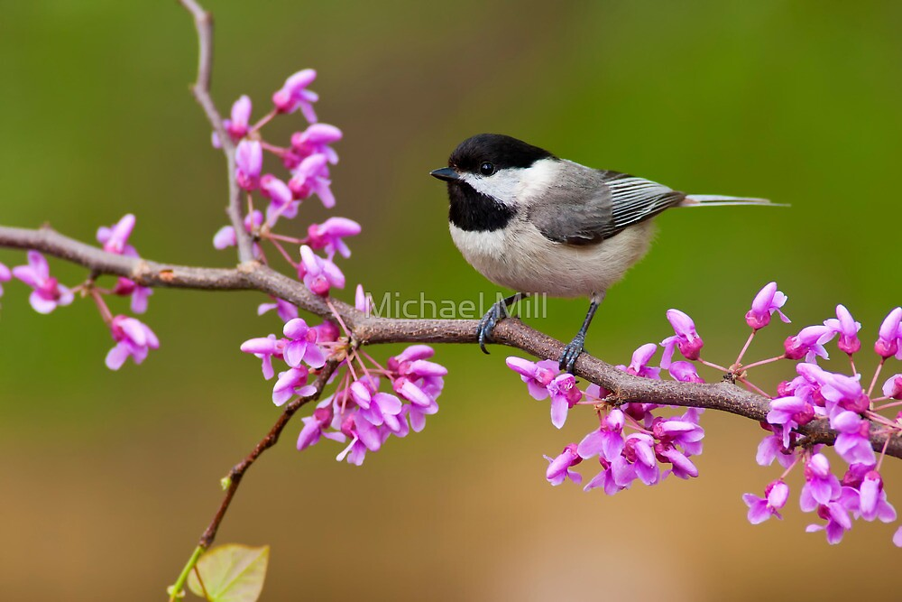 Black-capped Chickadee on Redbud by Michael Mill