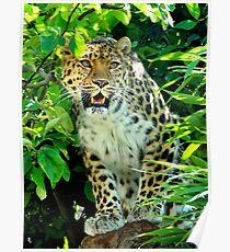 Amur Leopard One Poster