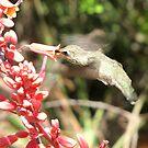 Anna's Hummingbird ~ Nippin' the Nectar by Kimberly Chadwick