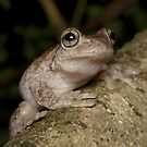 Peron's Tree Frog - Litoria peronii by Andrew Trevor-Jones