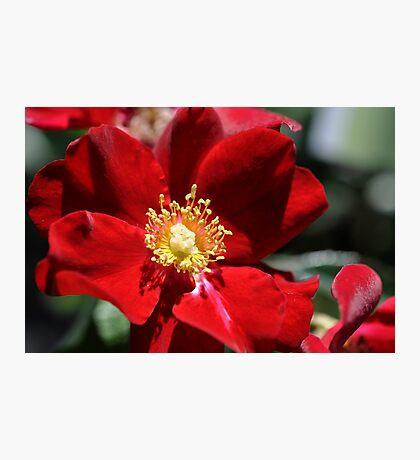 velvert red Photographic Print