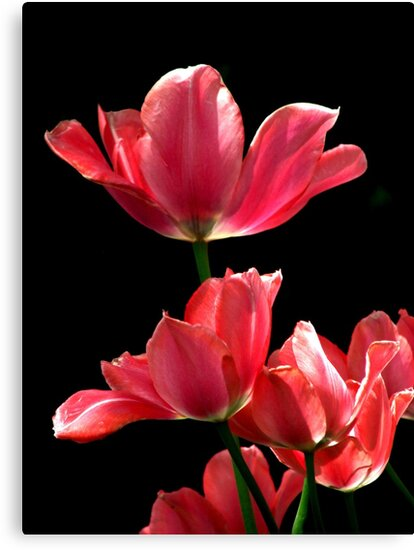 A Hot Pink Pirouette by AngieDavies