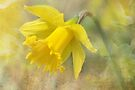 Daffodil  by Elaine  Manley