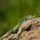 Lizard by iulix