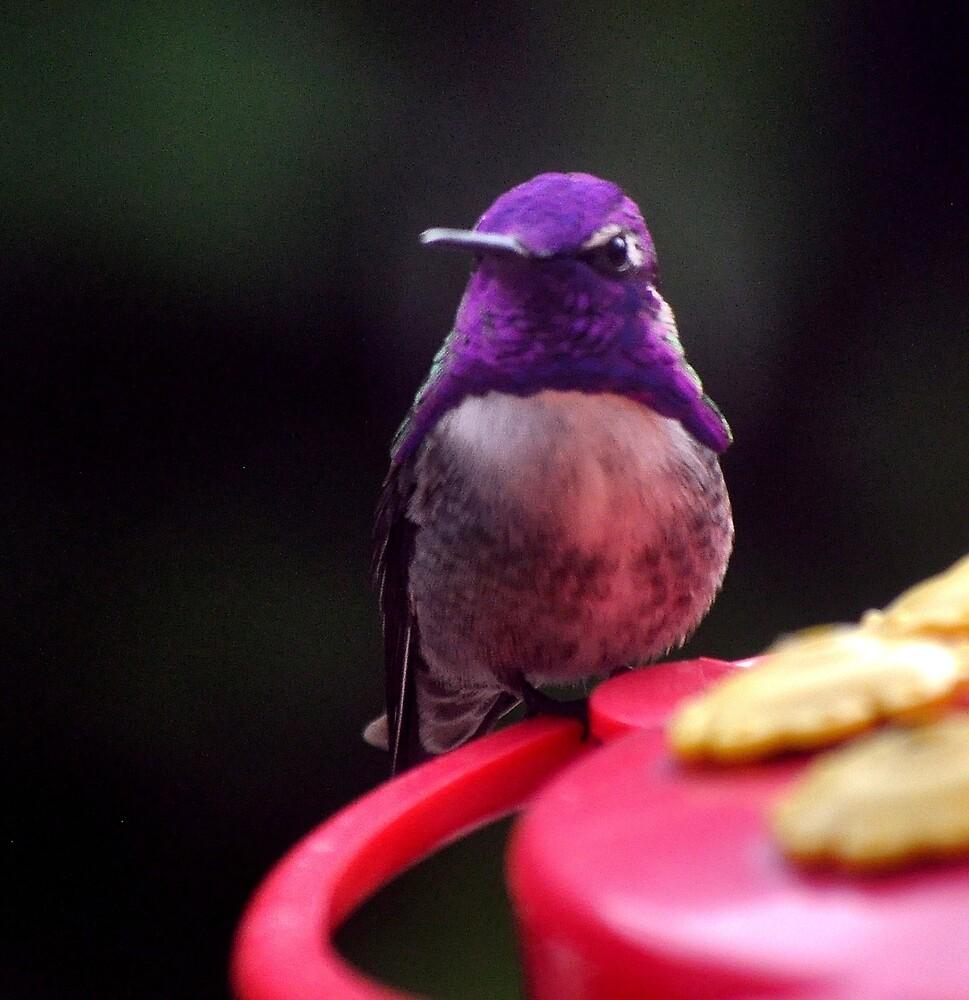 HUMMINGBIRD MALE COSTA'S by JAYMILO
