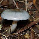 Elegant Blue Webcap - Cortinarius rotundisporus by Andrew Trevor-Jones