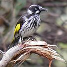 New Holland Honeyeater - Warriparinga Wetlands, South Australia by Dan & Emma Monceaux