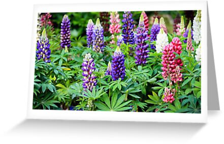 lupine flowers  by torishaa