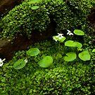 Sweet White Violets Rockside by Karen Kaleta