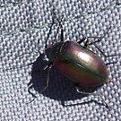 Jewell Beetle West Australia by robynart