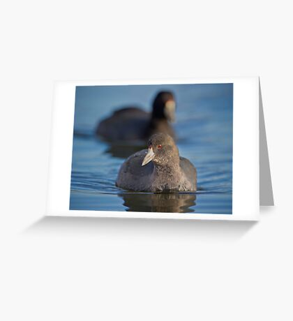 Curious Coot Greeting Card
