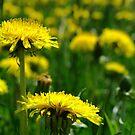 Dandelion Field by TriciaDanby
