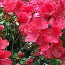 Red Azaleas by shiraz
