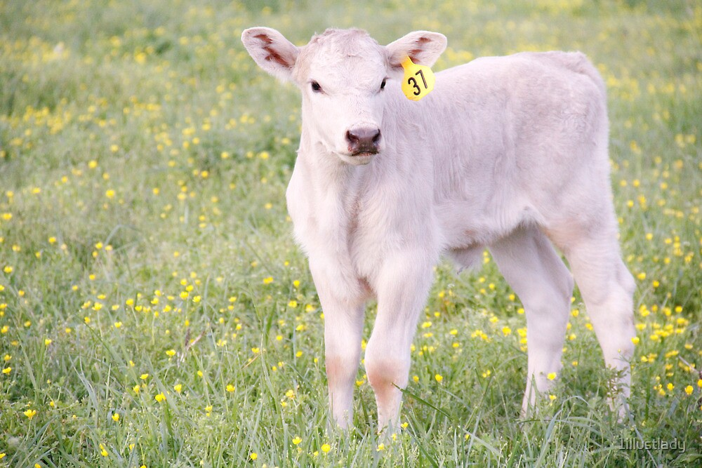 Charolais Calf by 1illustlady