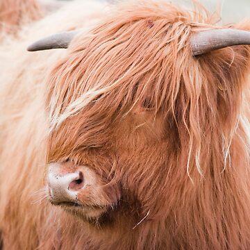 HIghland cow by Jarivip