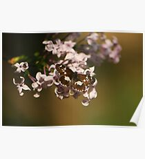 black and white butterfly and lilac Poster