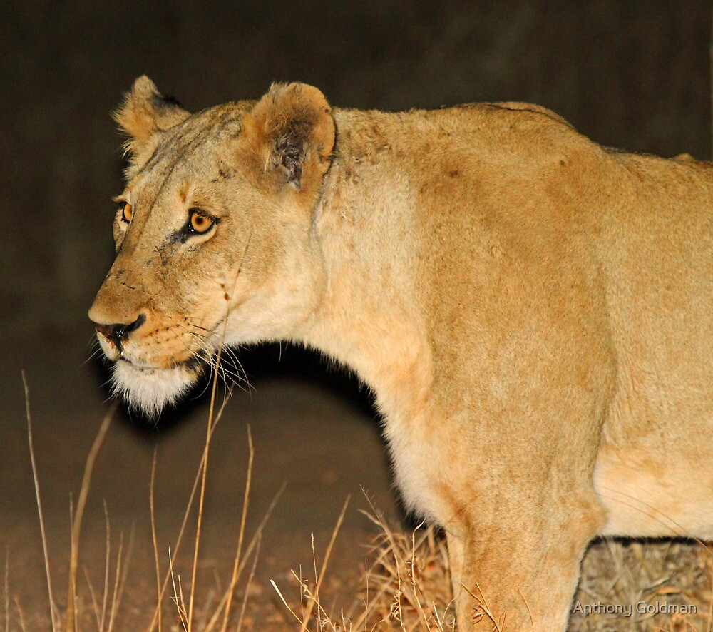 Lioness on the hunt! by jozi1
