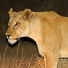 Lioness on the hunt! by Anthony Goldman