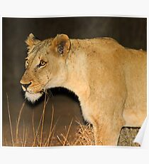 Lioness on the hunt! Poster