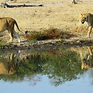 Lioness reflections! by Anthony Goldman