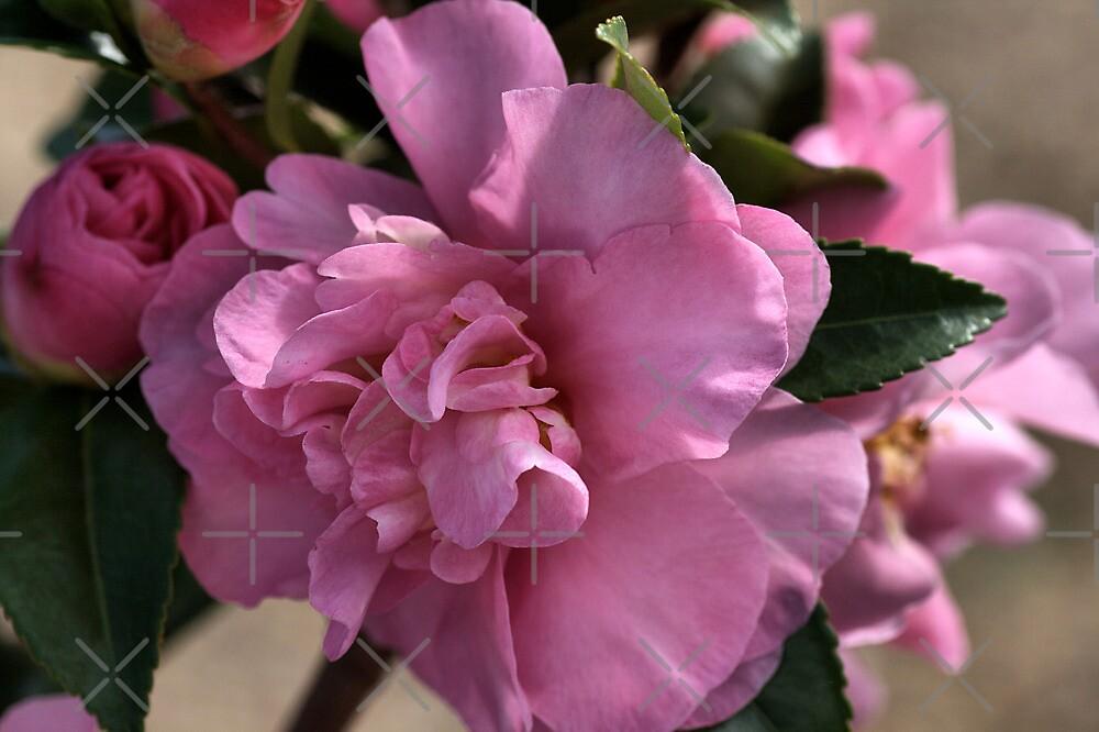 Camellia Blooms by Joy Watson