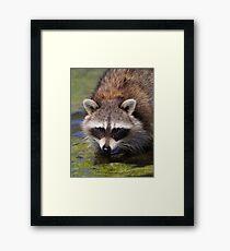 Raccoon Portrait Framed Print