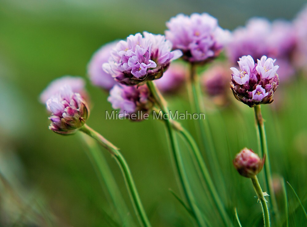 pink wild flowers. by Michelle McMahon