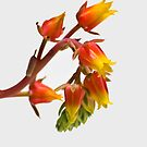 High Key Succulent by paulmcardle