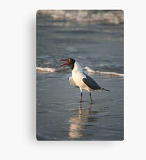 Laughing Gull, South Carolina Canvas Print