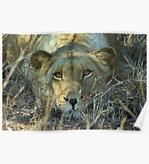 """Intense"" - lioness (Panthera leo) - Thornybush game reserve  - SA Poster"
