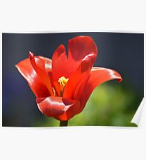 Really Red Tulip... Poster