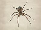 Fishing spider - Dolomedes tenebrosus by MotherNature