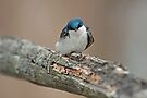 Tree Swallow (Tachycineta bicolor) by Mike Oxley