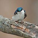 Tree Swallow (Tachycineta bicolor) by Mike Oxley