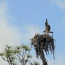 Osprey by RebeccaBlackman