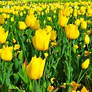 From a Tulip's View # 2 by Penny Smith