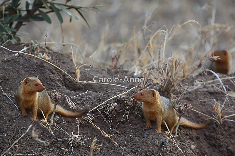 Dwarf Mongoose, Serengeti, Tanzania.  by Carole-Anne