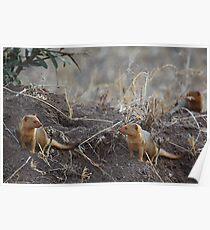 Dwarf Mongoose, Serengeti, Tanzania.  Poster