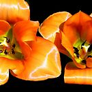 Tangerine Tulips © by Dawn Becker
