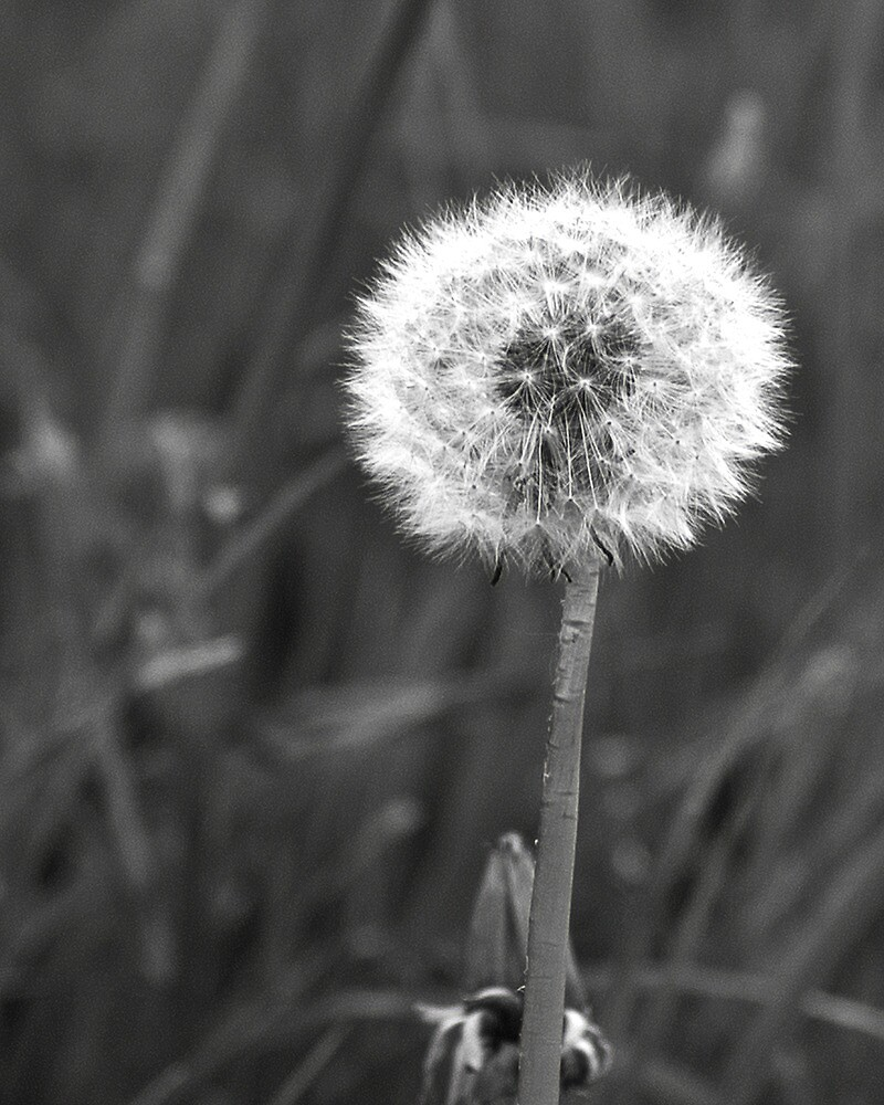Dandelion by Richard Downes