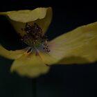 Welsh Poppy by Sue Tyler