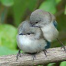 blue wren life by adbetron