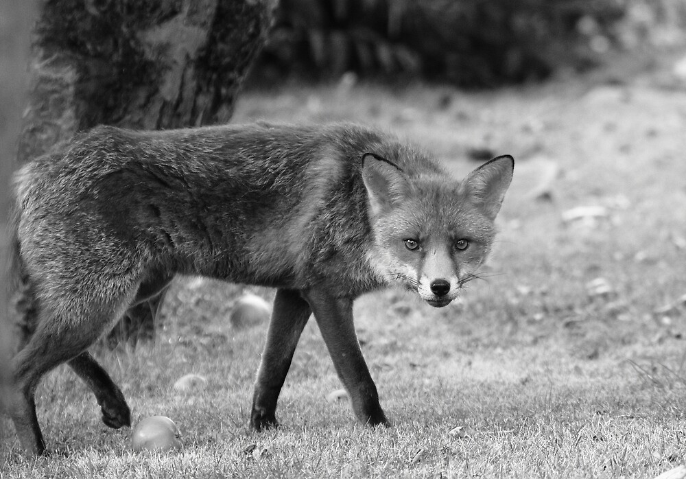 The Fox in b&w by kitlew